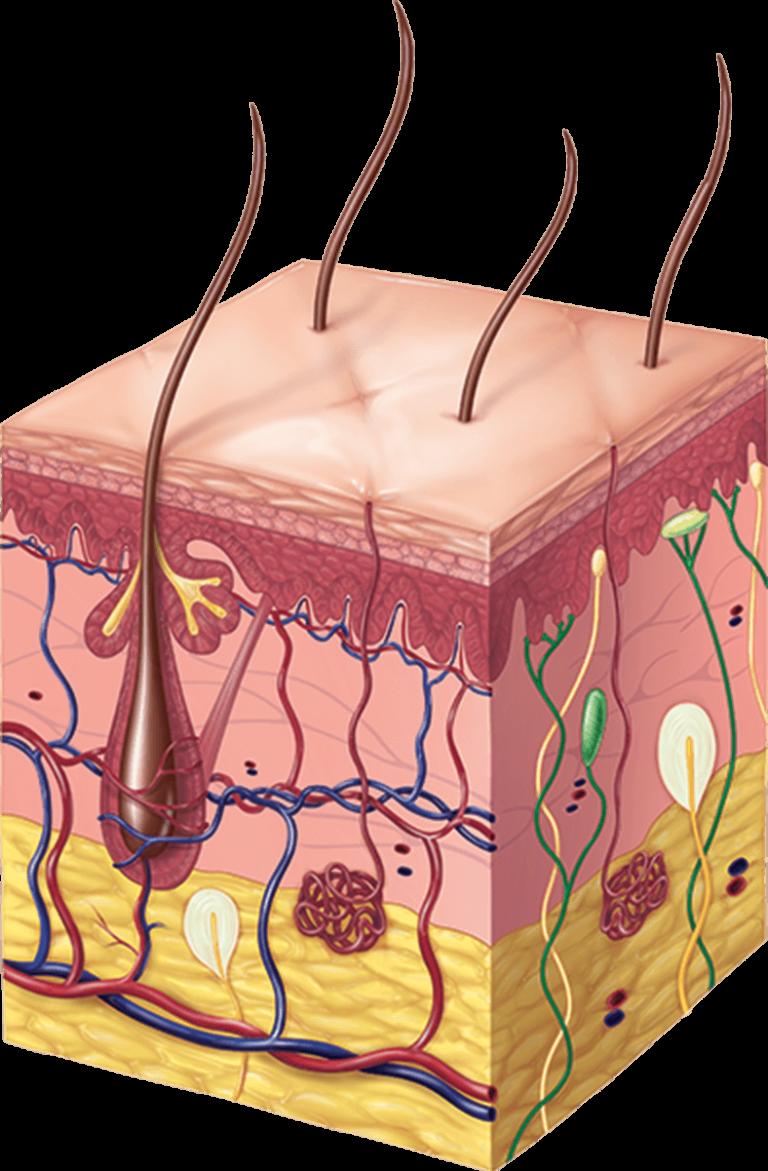 Skin anatomy illustration