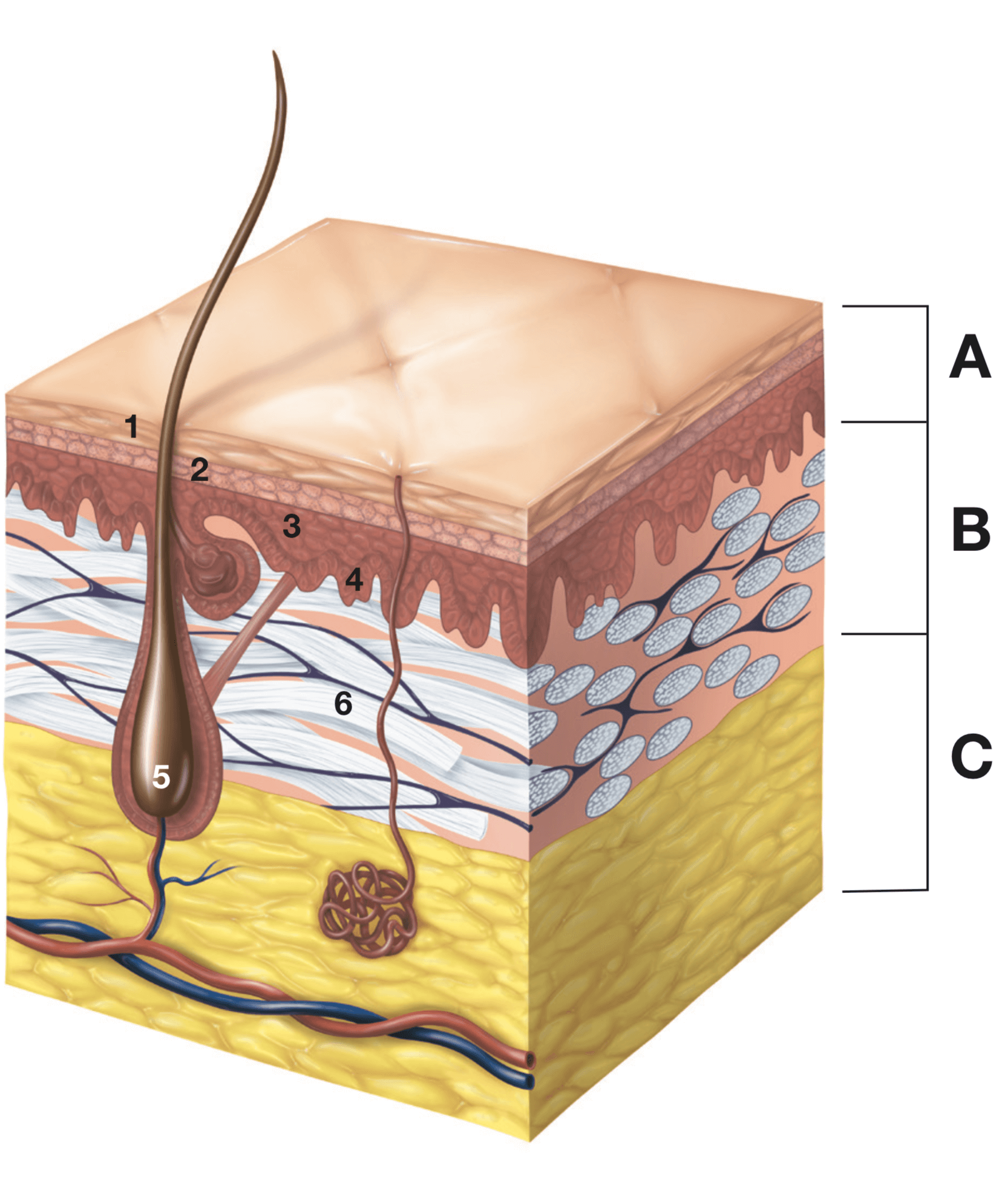 illustration of younger skin layers